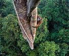 Un orangután vuelve a lo alto de un árbol para alimentarse de sus higos, en lo más profundo de las selvas de Borneo. Esta es la fotografía ganadora del Wildlife Photographer of the Year 2016