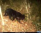 El oso negro asiático está en la lista roja de especies amenazadas de la UICN, y el Gobierno de Vietnam ha prohibido su caza y su comercio.