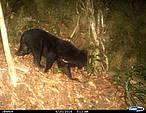 El oso negro asiático está en la lista roja de especies amenazadas de la UICN, y el Gobierno de Vietnam ha prohibido su caza y su comercio.<br />©WWF Vietnam
