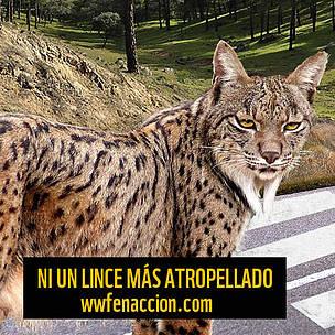 Actúa contra los atropellos de lince / ©: WWF