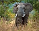 Un macho de elefante africano en la Reserva de Caza de Selous, Tanzania. En los últimos años, el 90% de los elefantes de Selous han muerto a manos de furtivos.