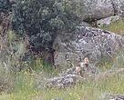 cachorros de lince nacidos en Montes de Toledo