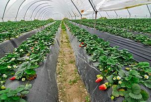 Cultivo de fresa bajo plástico