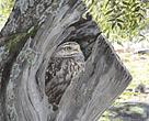 Ilustración de la guía de olivares de montaña de WWF España