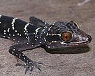 Esto gecko (Cyrtodactylus vilaphongi) descubierto en Laos -Gran Mekong- se convirtió en el reptil número 10.000 descrito por la ciencia.