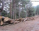 Imágenes de la tala del abetal de la Sierra Ferrera, en Laspuña, Pirineo de Huesca