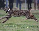 El lince Kentaro corre a la libertad tras su suelta en Montes de Toledo, el 26 de noviembre de 2014, realizada en el marco del proyecto LIFE Iberlince