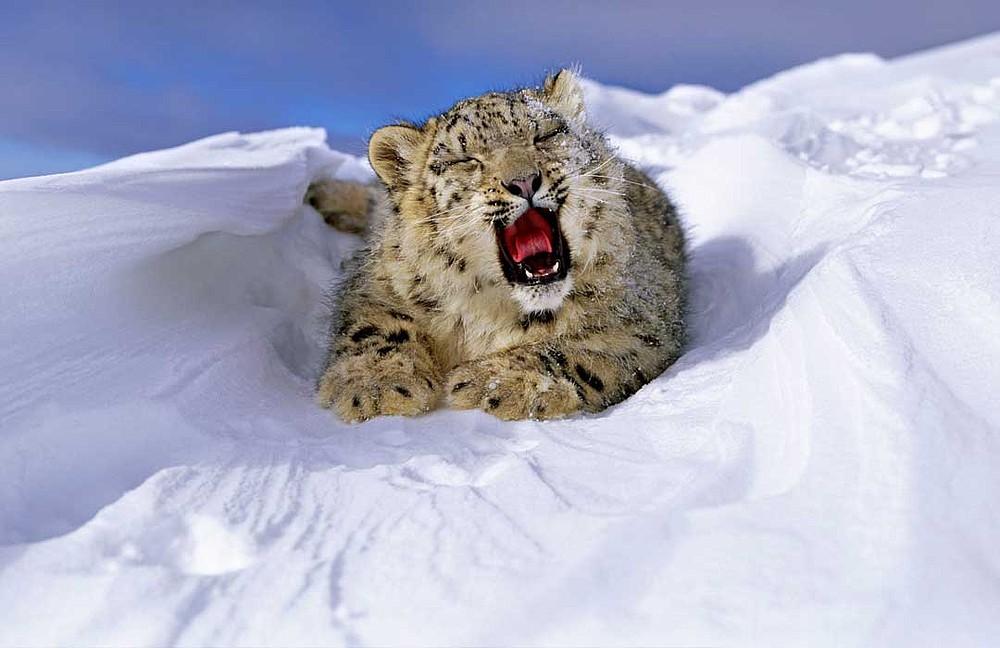 Leopardo de las nieves | WWF España