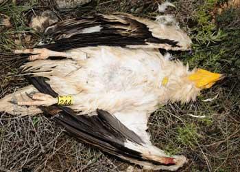 Sentencia tras sorprender Agentes de Medio Ambiente a guarda de finca usando venenos en zona de alimoche