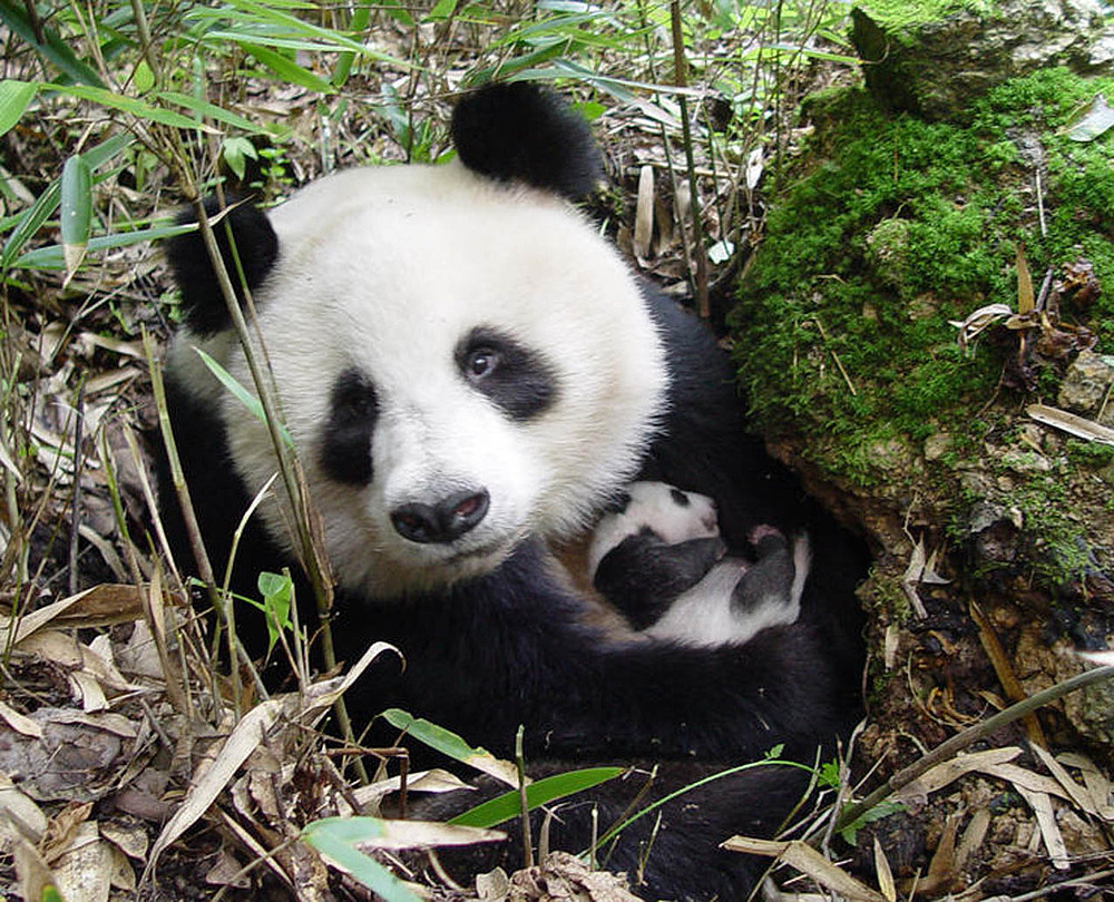 Muitas vezes Oso Panda | WWF España RO99