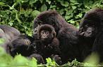 Gorilas de montaña, Parque Nacional de Virunga, Depública Democrática del Congo <br />©© Martin HARVEY/ WWF-Canon
