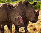 Rinoceronte víctima del tráfico de especies.