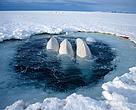 Belugas en el Alto Ártico