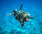 La tortuga boba habita el Mar Mediterráneo y se encuentra amenazada principalmente por las capturas accidentales, pérdida y destrucción de hábitat por el desarrollo turístico.