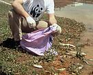 Un miembro de WWF recogiendo peces muertos en el río Guadiamar, un día después del vertido de Aznalcóllar