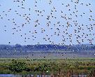 Un bando de agujas colinegras en vuelo en el Parque Nacional de Doñana