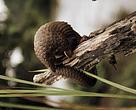 Pangolín arborícola en un bosque de la República Democrática del Congo