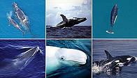 / ©: © 1. NMFS NOAA; 2. IFAW / C. Carlson; 3. NOAA; 4. WWF-Canon / Morten Linhard; 5. WWF-Canon / Kevin Schafer; 6. WWF-Canon / William W Rossiter
