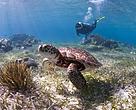 Buceo con tortugas marinas en el Arrecife Mesoamericano
